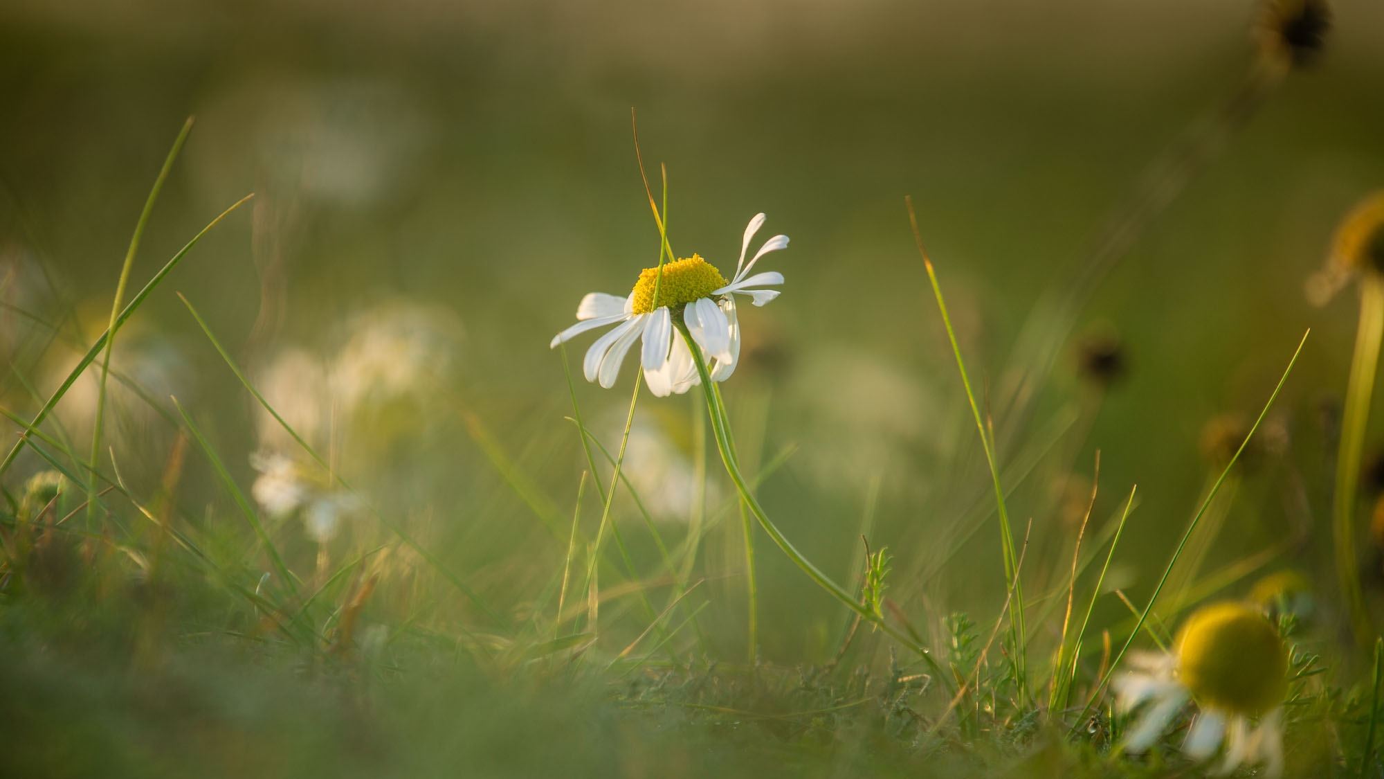 Daisy In First Light, The Wash - Norfolk