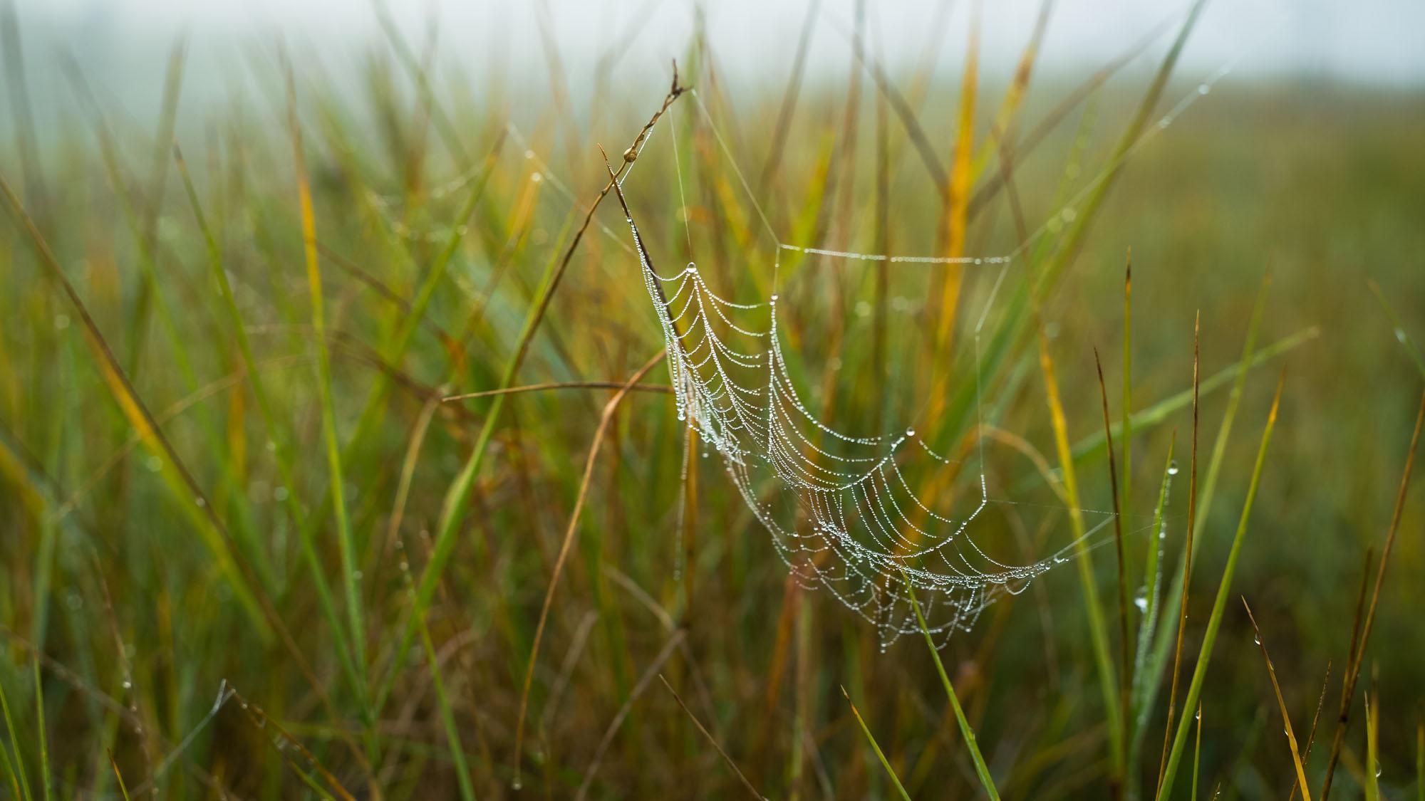 Spiders Dew, The Wash - Norfolk