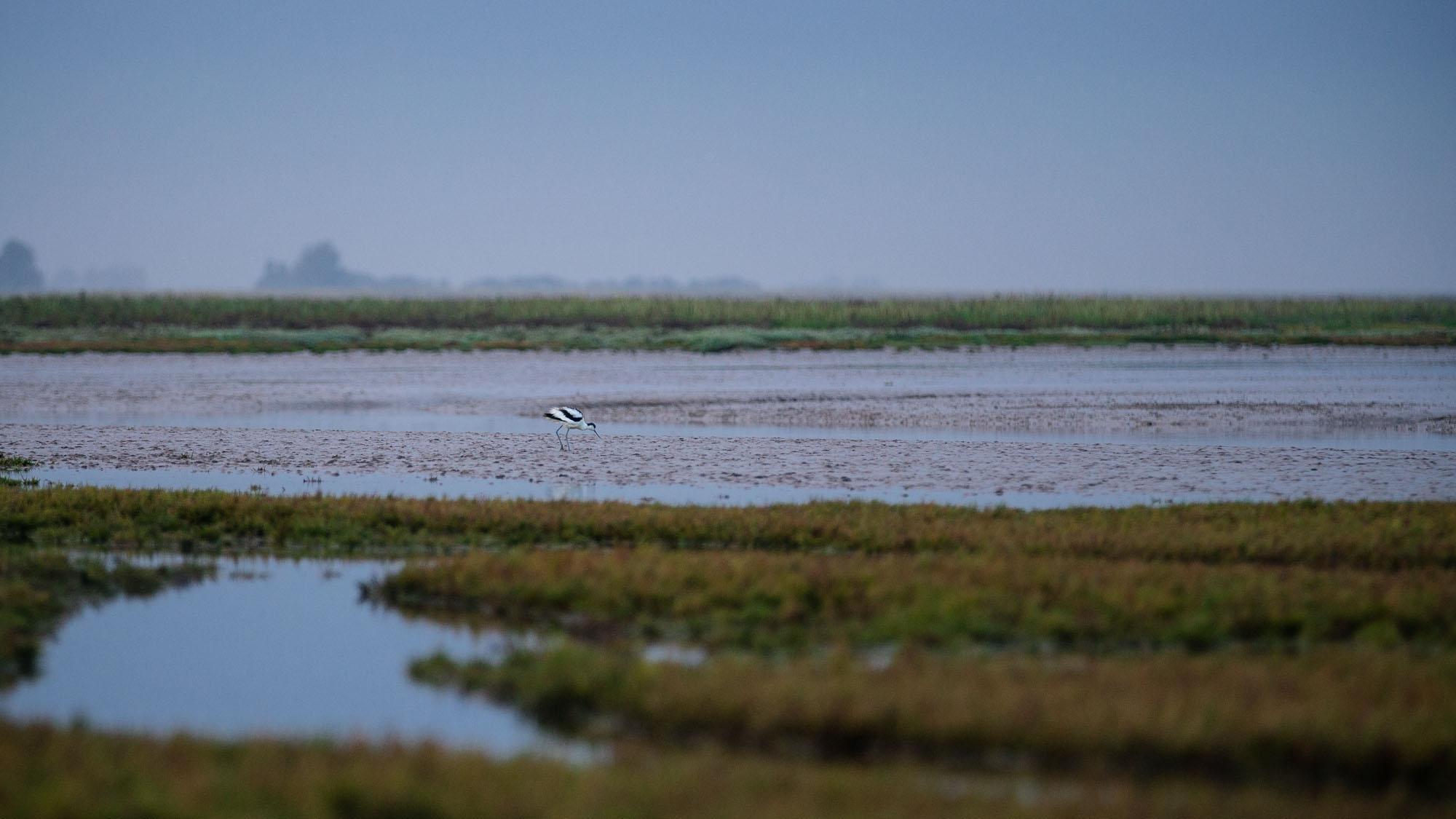 Avocet at Low Tide, The Wash - Norfolk